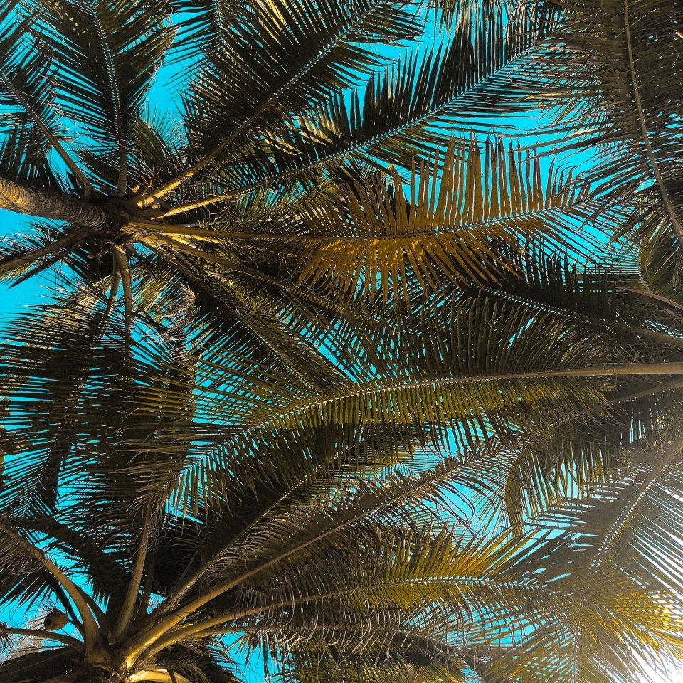 Coconut tree tops with blue sky behind
